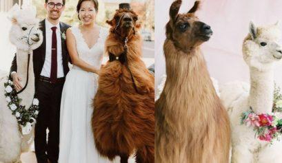 llama wedding guest